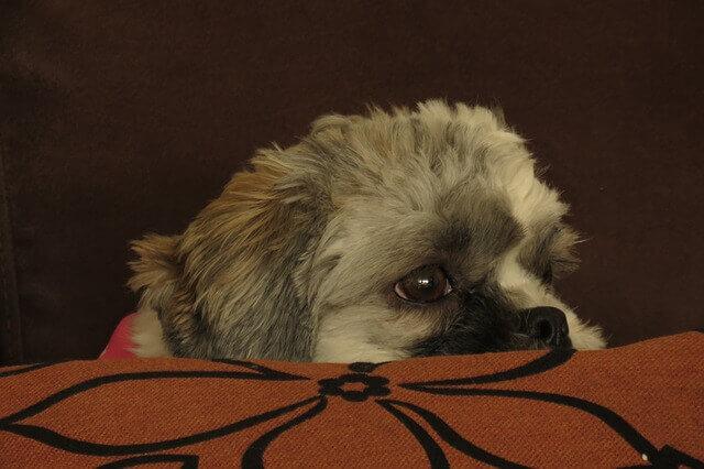 Tremores em cães