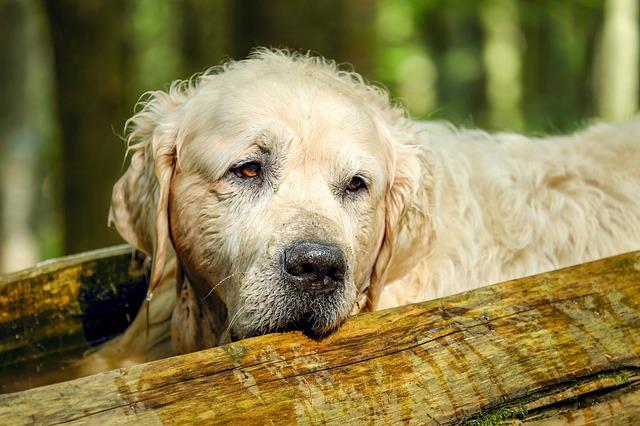 3 dicas para alimentar o seu cão sênior