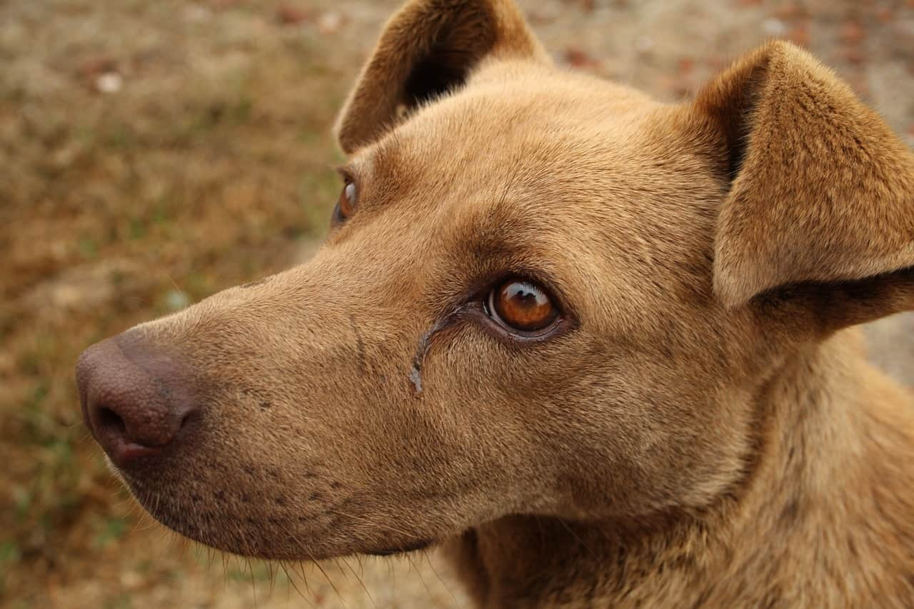 Tumores da tireóide e cirurgia da tireóide em cães