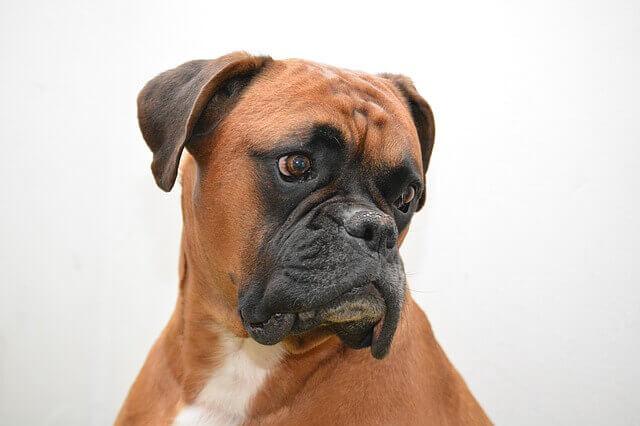Tumores das gengivas (Epulis) em cães
