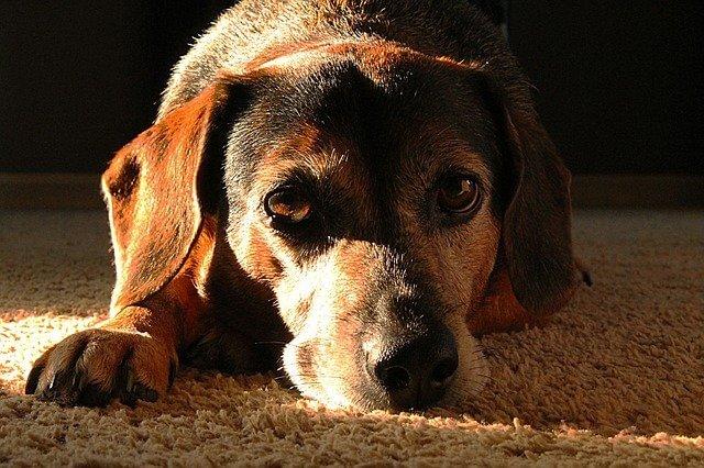 Tumores intestinais (Apudomas) em cães