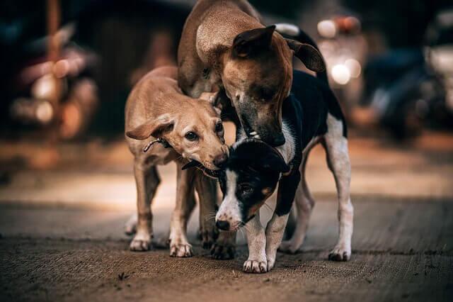 Verrugas em Cães