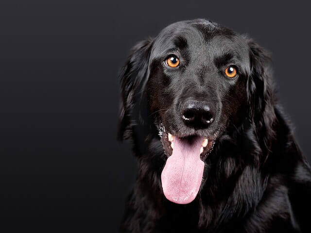 Vírus intestinal (reovirus) infecção em cães