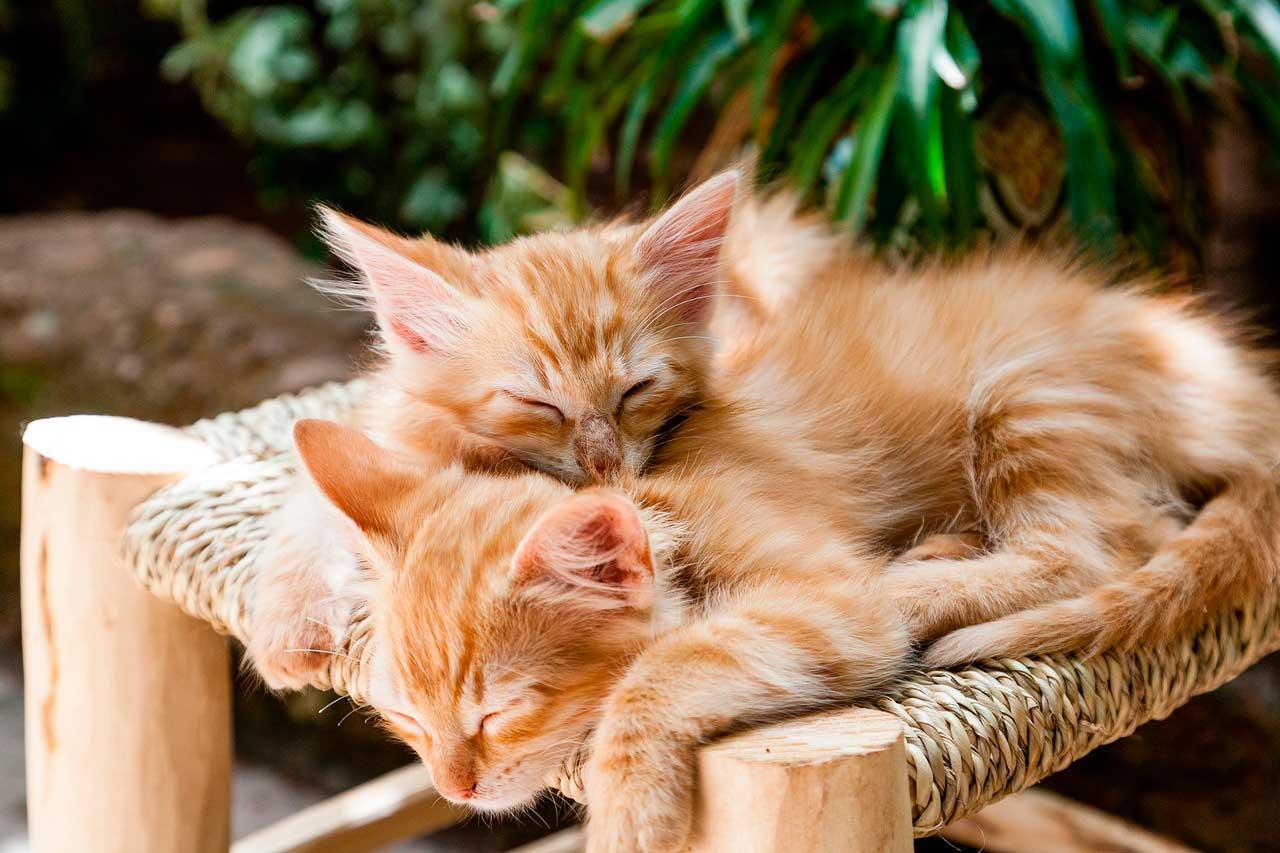 Vitaminas para estresse em gatos